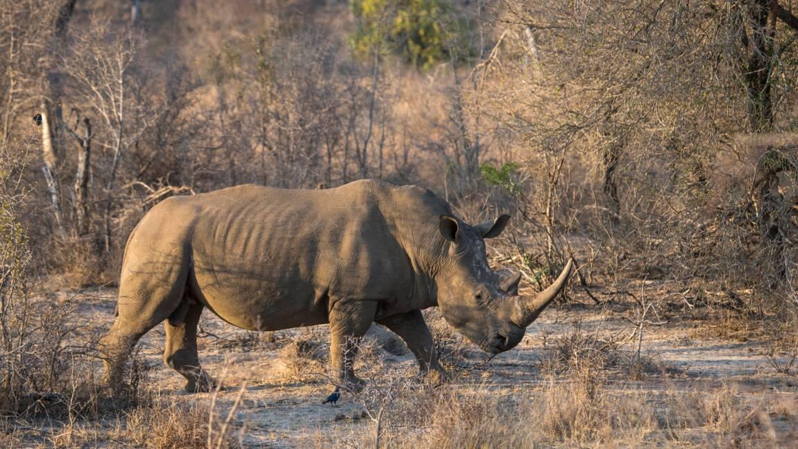 Naissance d'un bébé rhinocéros blanc de 50 kg à la réserve de Sigean