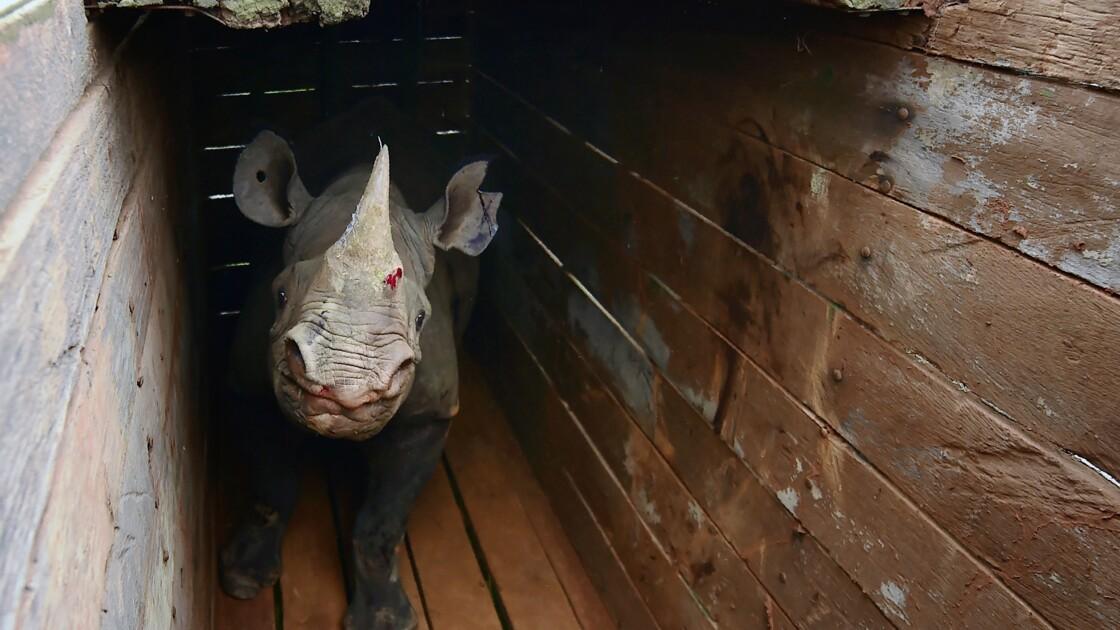 Kenya: un dixième rhinocéros est mort, le onzième attaqué par des lions
