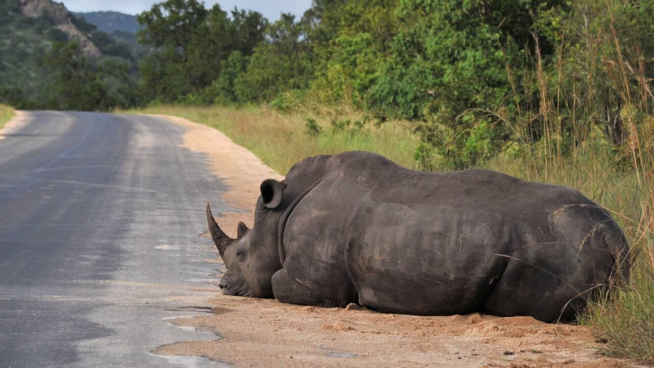 Le Rwanda réintroduit des rhinocéros dans un parc naturel