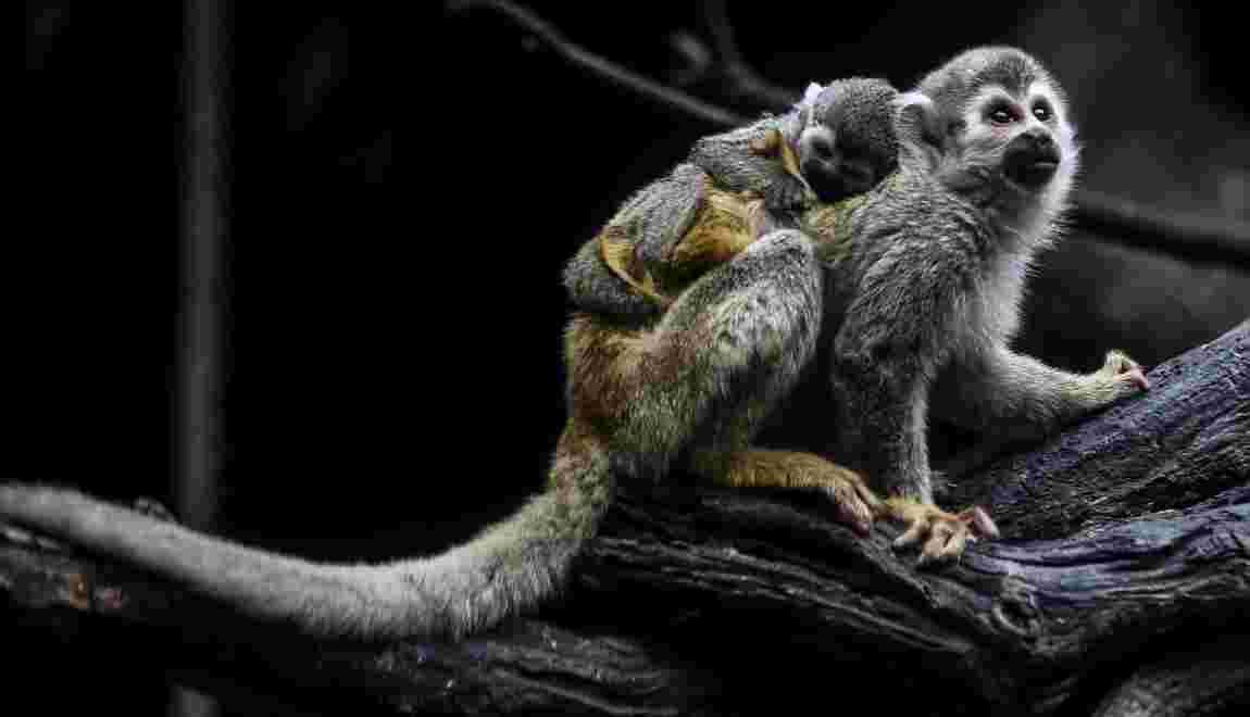 Colombie: naissance en captivité d'un singe araignée, espèce menacée