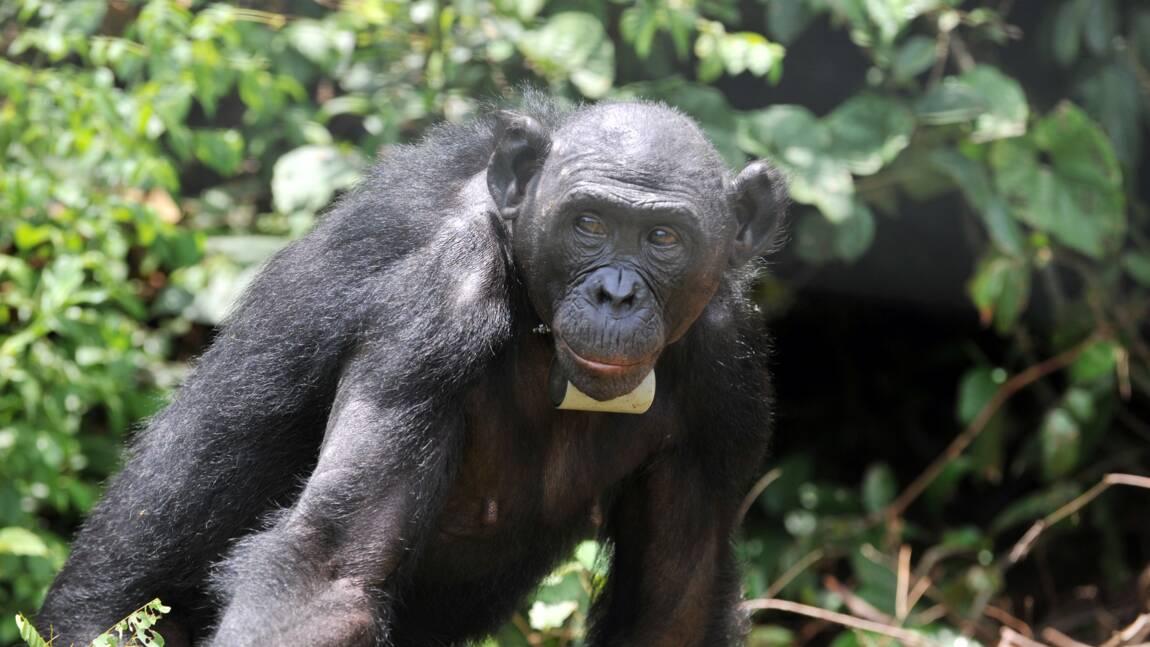 """RDC : une vente présumée d'animaux protégés à la Chine sent la """"corruption"""""""