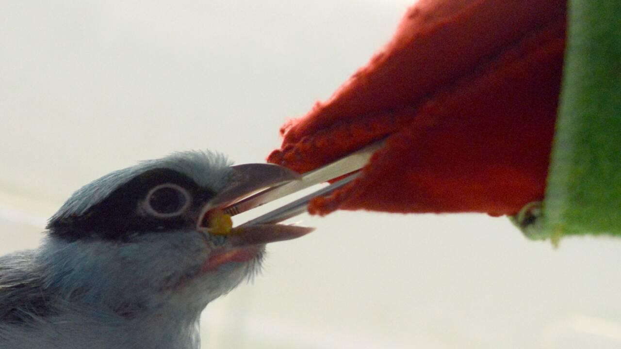 Rép. tchèque: une marionnette pour nourrir des oiseaux menacés de Java