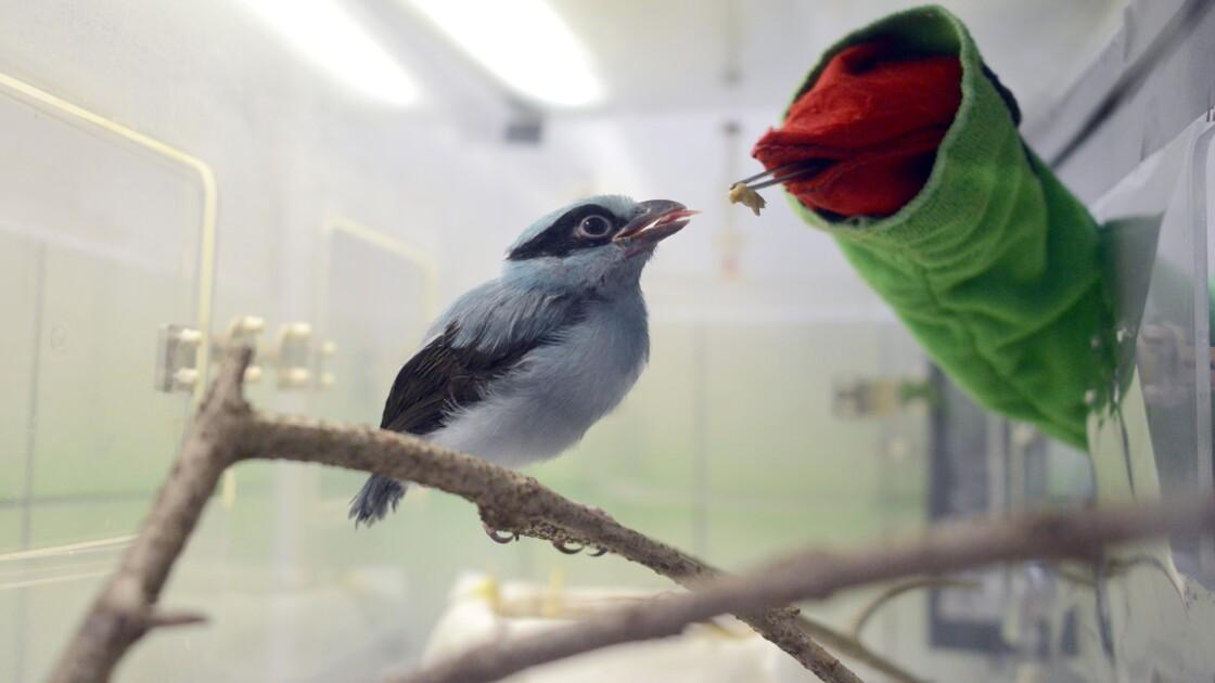 En République tchèque, une marionnette pour nourrir des oiseaux de Java