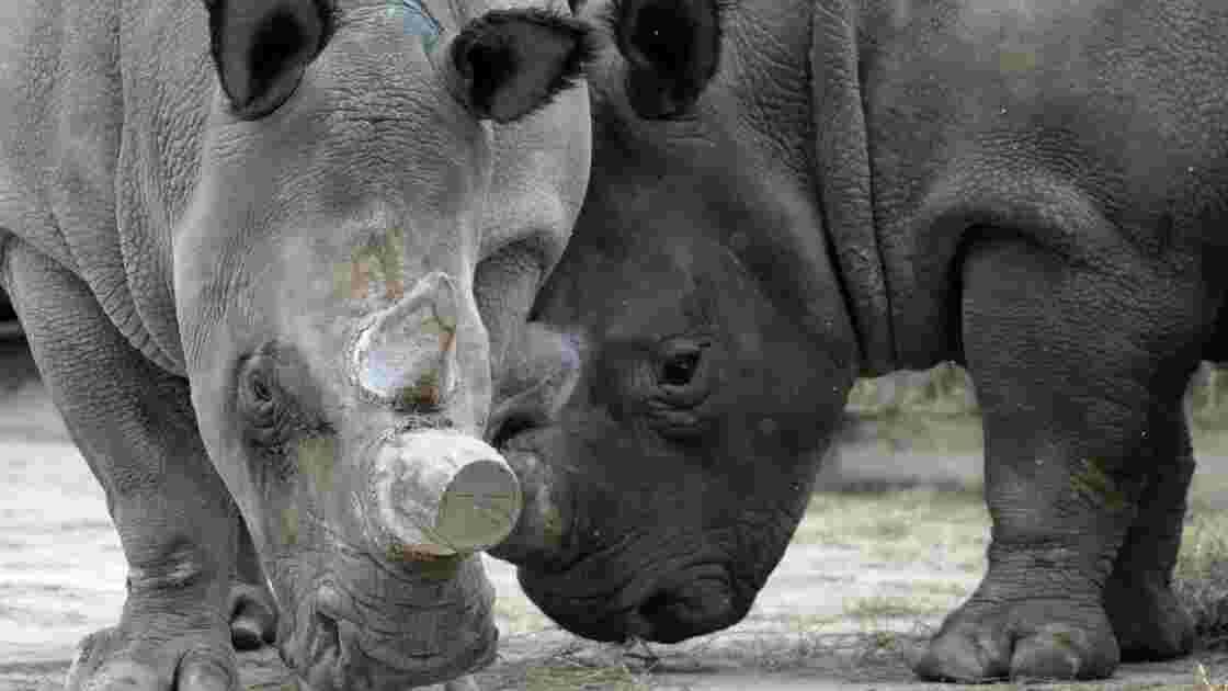 Des cornes de rhinos brûlées dans un zoo tchèque pour combattre le braconnage