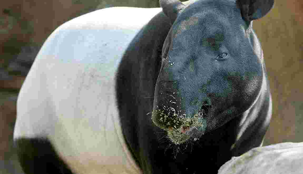Inquiétude en Malaisie face à l'augmentation des morts d'animaux rares