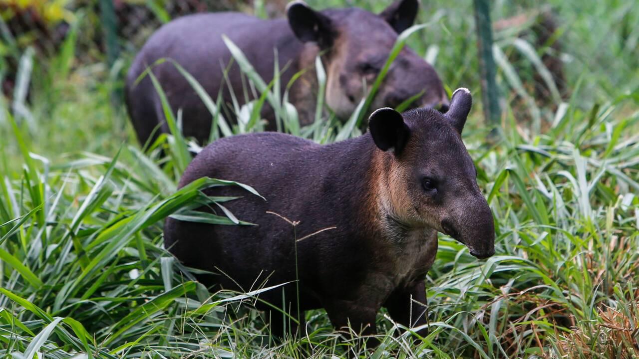 Au Nicaragua, le combat de quelques passionnés pour sauver le tapir