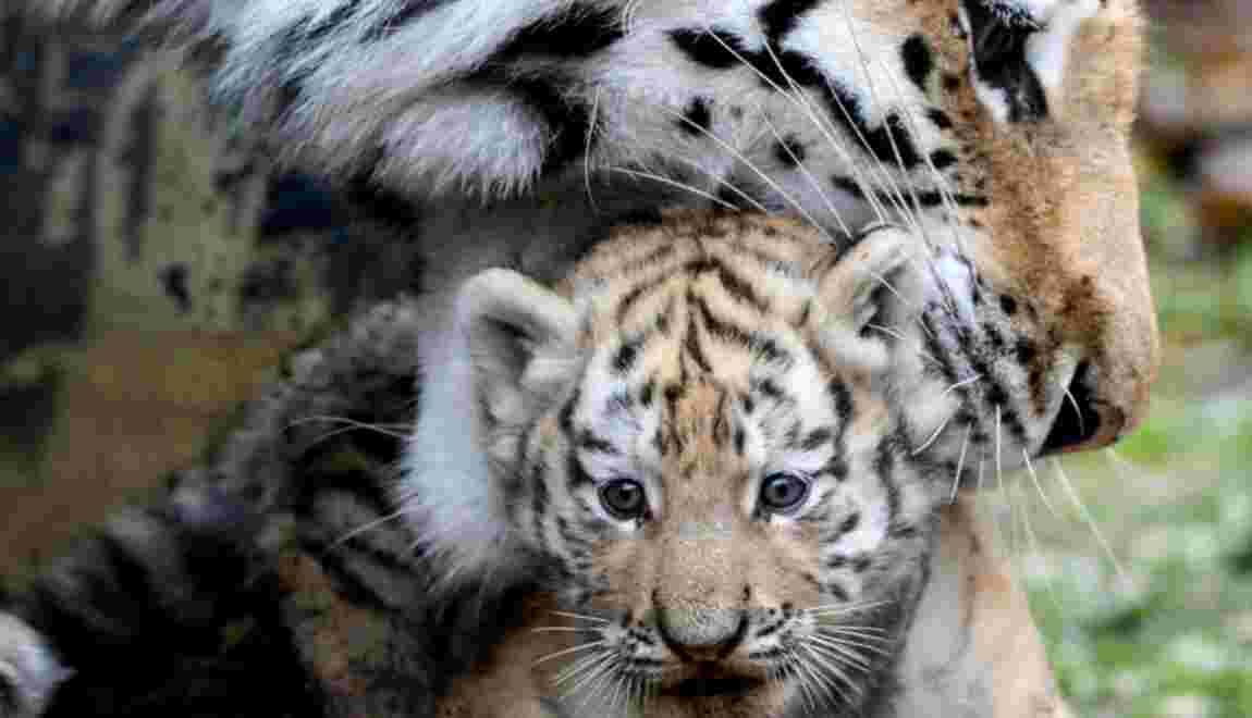 Rares naissances de tigres de Sibérie au zoo de Besançon