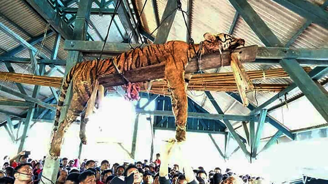 Indonésie: un tigre de Sumatra éventré par des villageois