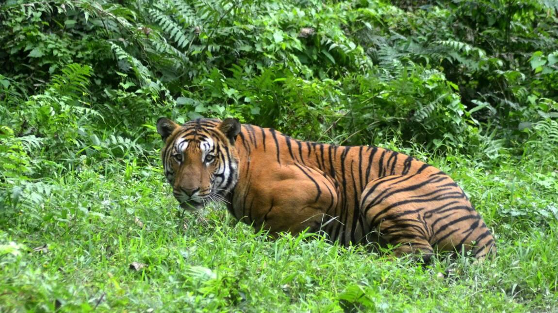 Inde: hausse de 30% des tigres sauvages en quatre ans
