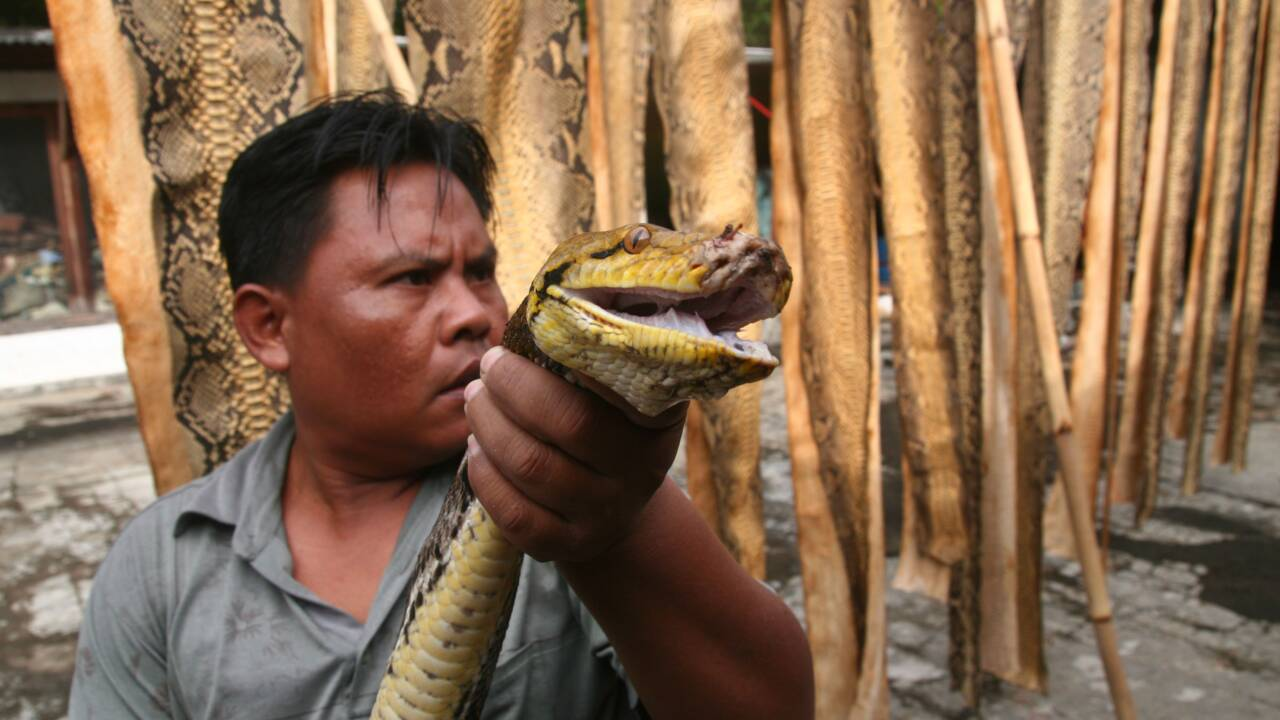 Indonésie: des crocodiles et des pythons vendus sur les réseaux sociaux