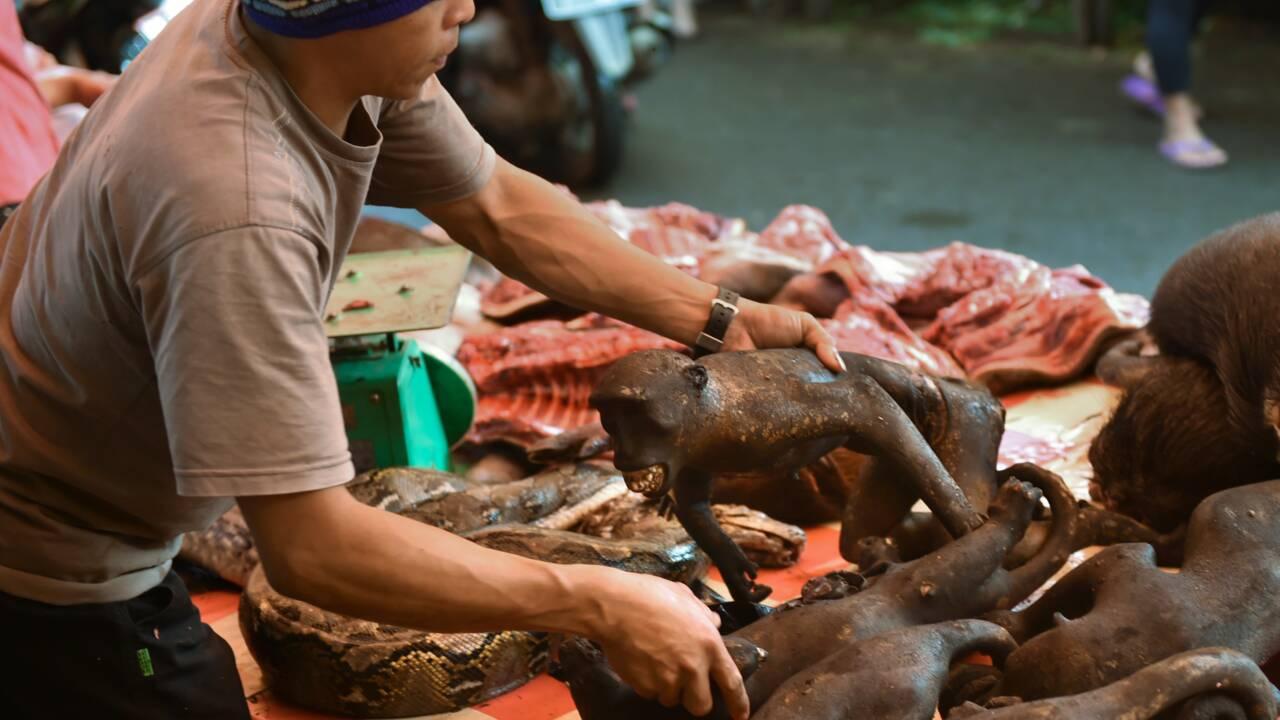 """Chassé en Indonésie pour sa viande, le """"macaque au selfie"""" en péril"""
