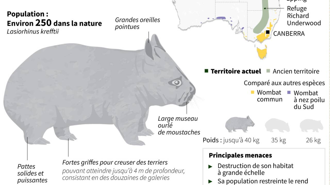 En Australie, naissance d'un rarissime wombat à nez poilu du Nord
