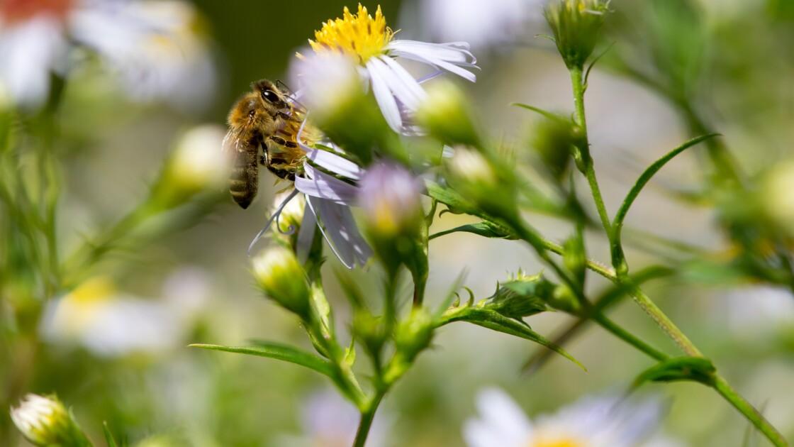 """Des fleurs produisent un """"halo bleu"""" attirant les abeilles"""