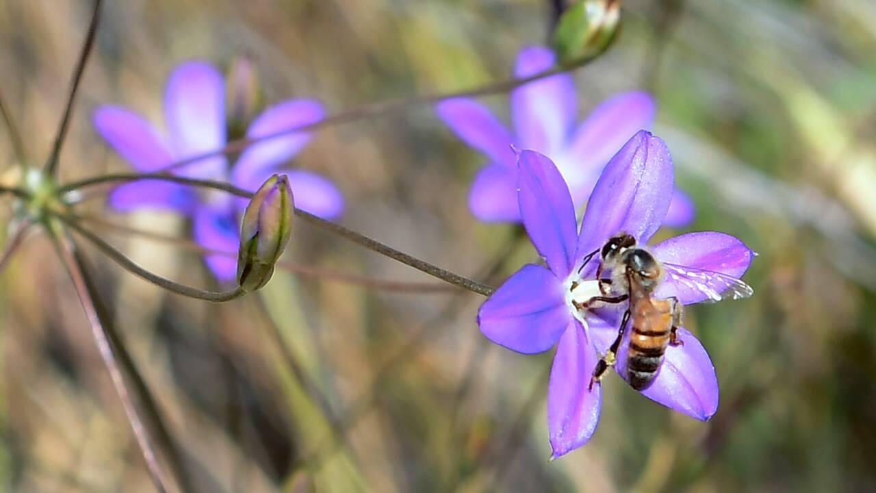 Députés et sénateurs se mobilisent pour les abeilles et contre les néonicotinoïdes