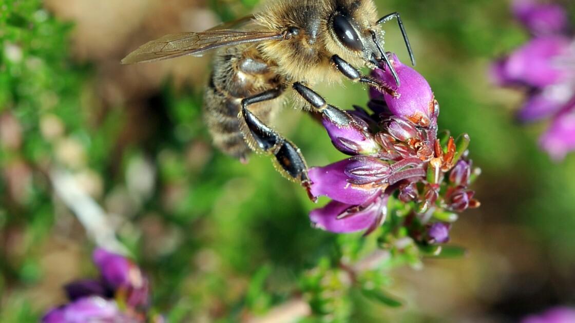 Mortalité des abeilles: les apiculteurs contestent une étude du ministère de l'Agriculture