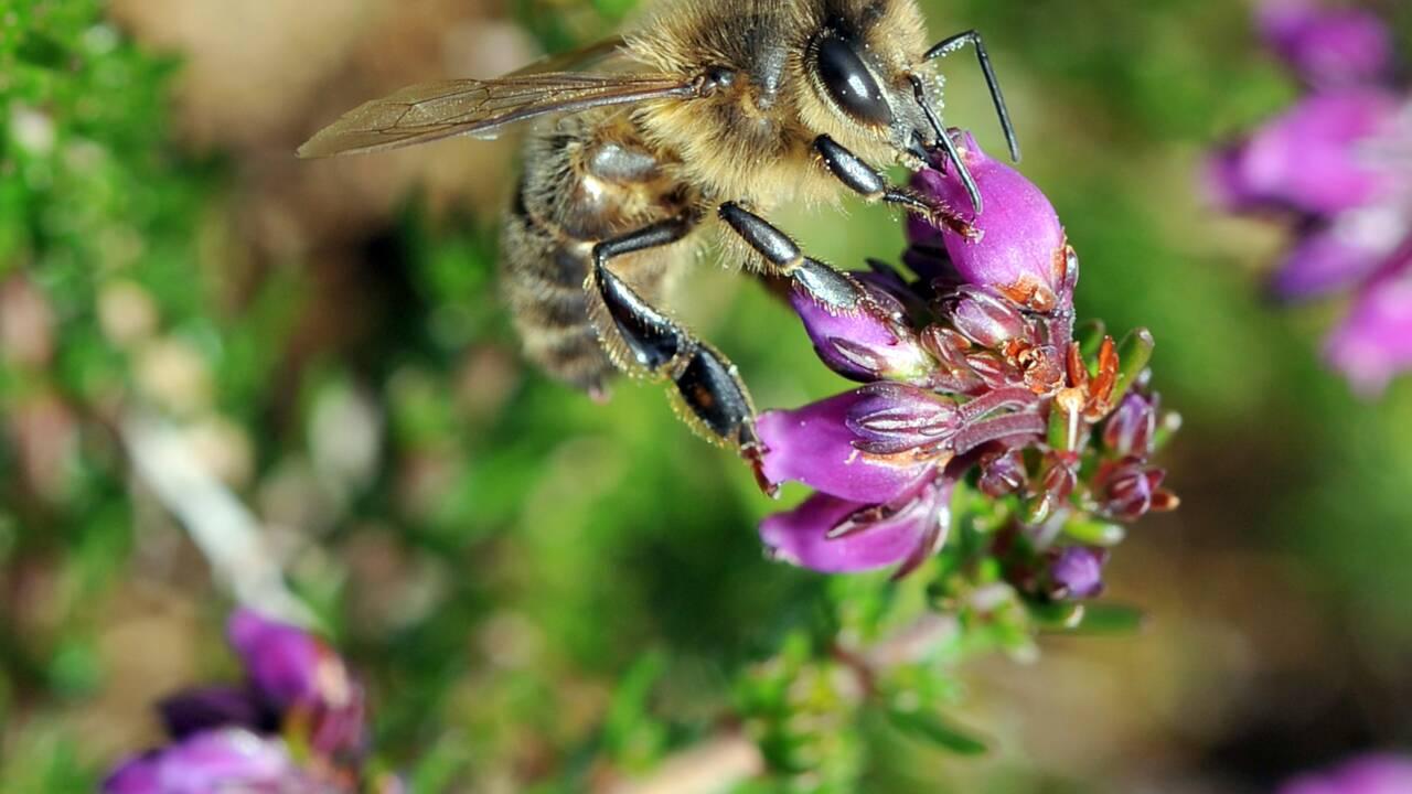 Abeilles : des résidus de pesticides néonicotinoïdes découverts dans des zones non-traitées
