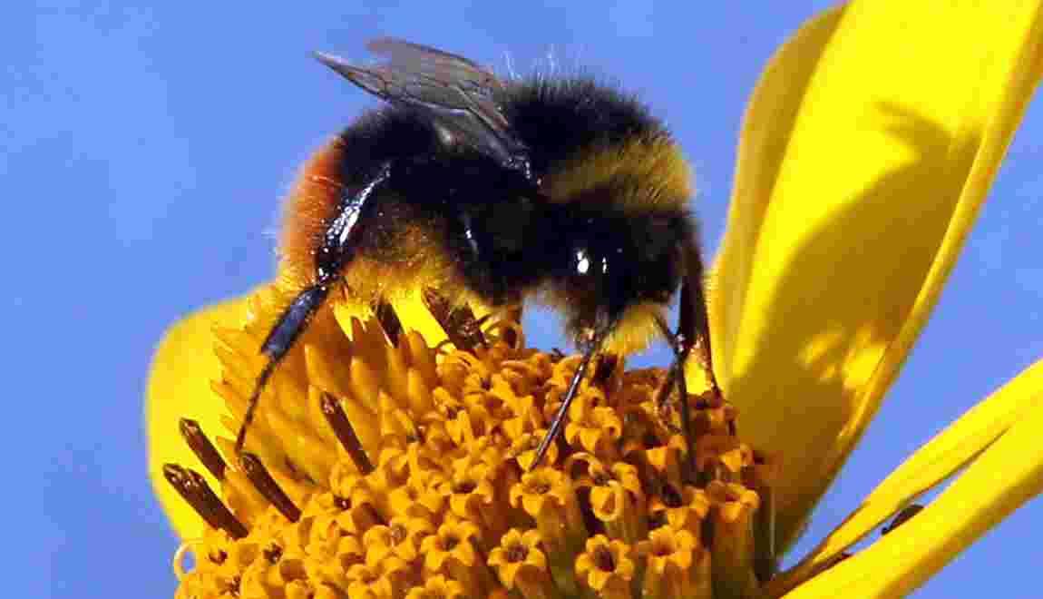 Des mini drones pollinisateurs à la rescousse des abeilles