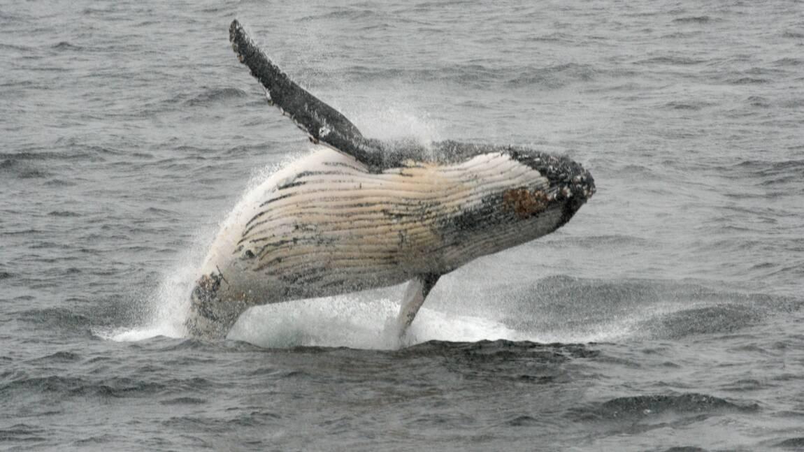 Chasse à la baleine: la CBI reconduit les quotas pour les autochtones