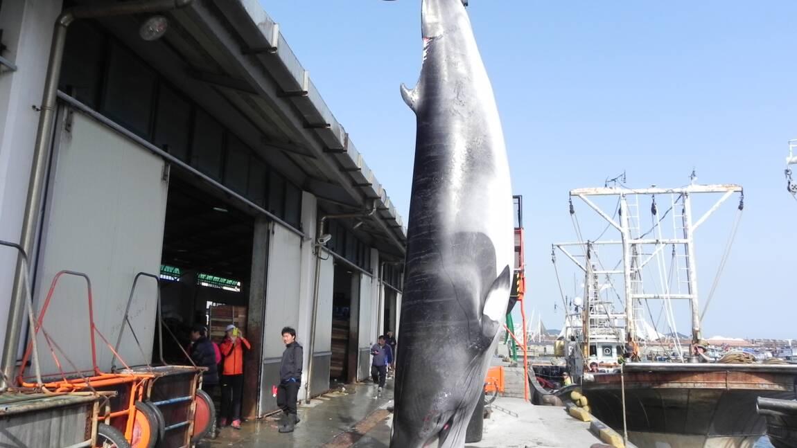Japon: 122 baleines en gestation tuées au cours de l'expédition dans l'Antarctique