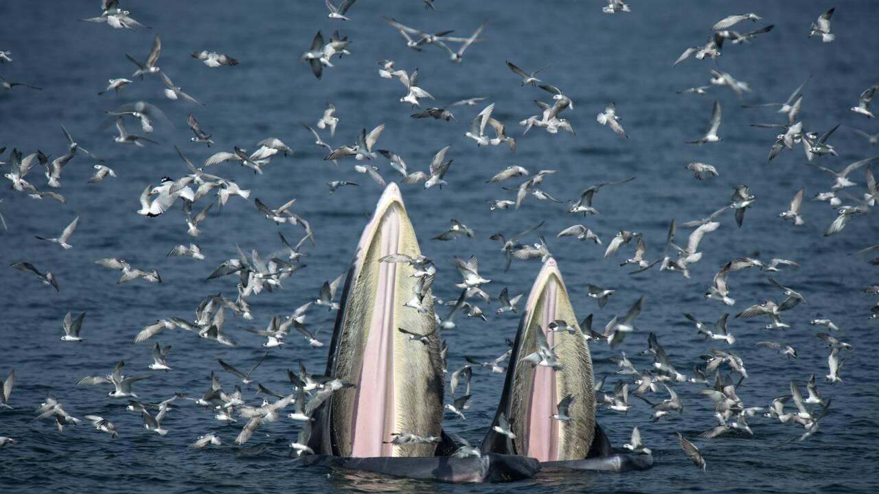 Thaïlande: observer les baleines au large de Bangkok