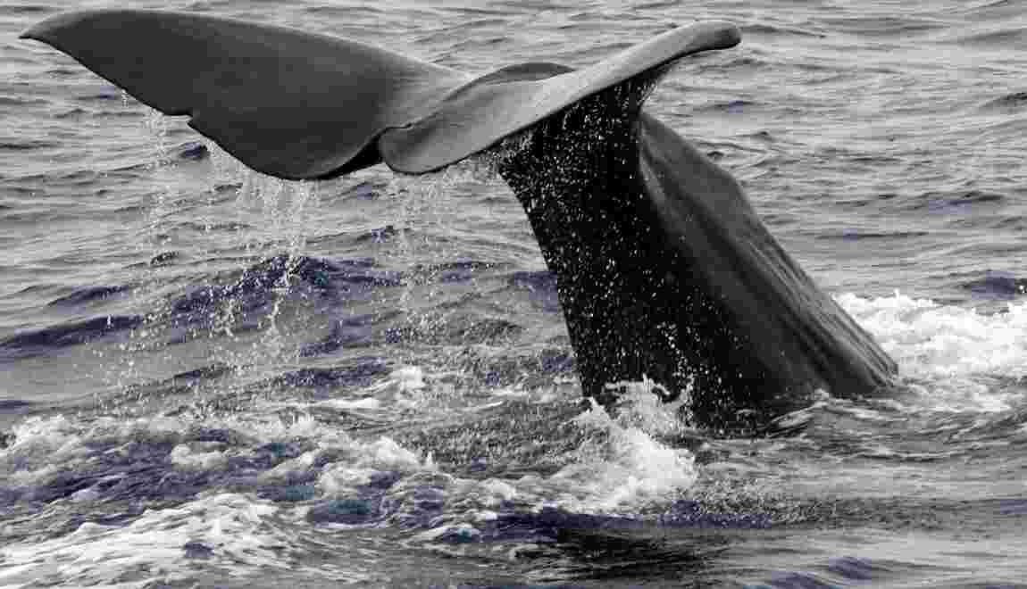 Chasse annuelle à la baleine: le Japon tue 333 cétacés