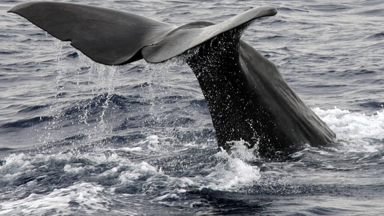 Norvège: le harponnage de baleines en gestation révolte des ONG