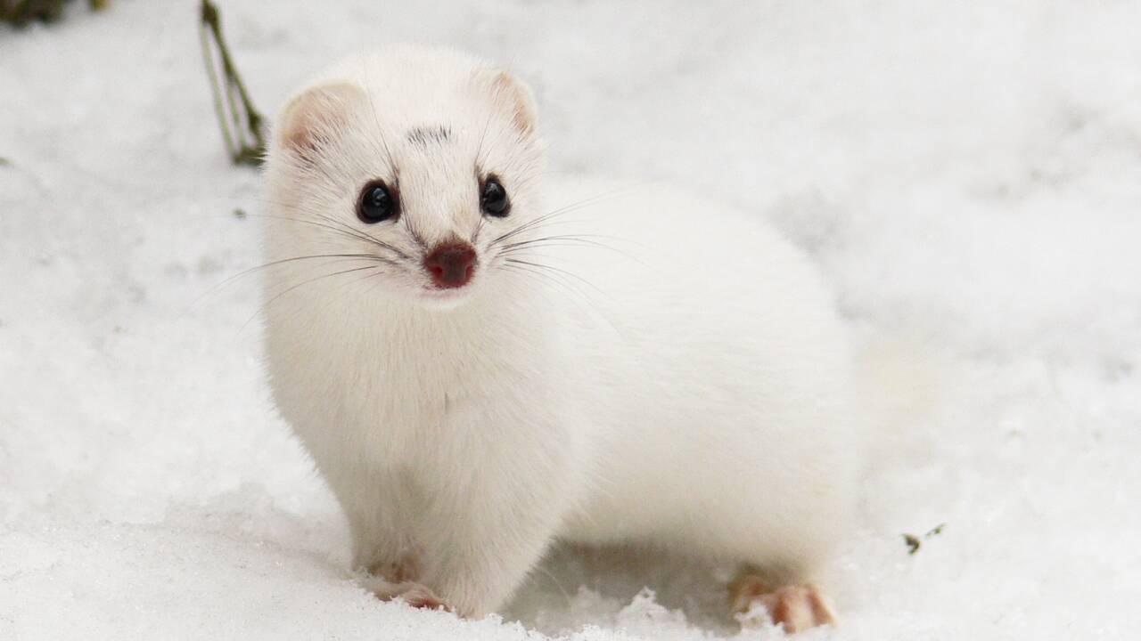 Climat: moins de neige et la belette blanche devient une cible