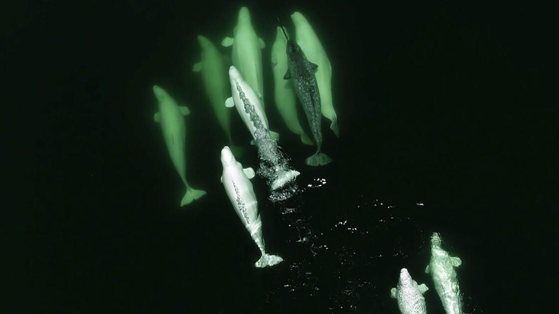 Climat: phoques et baleines arctiques changent leurs habitudes alimentaires