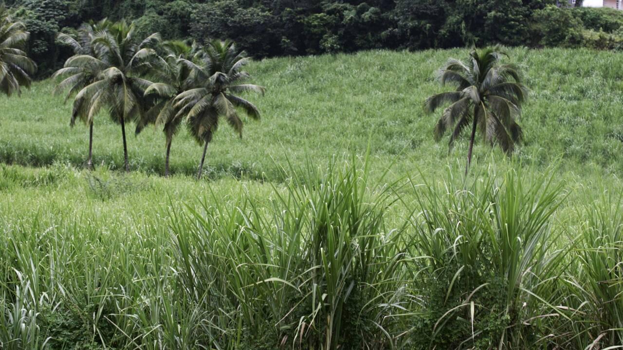 En Martinique, la filière canne à sucre en détresse