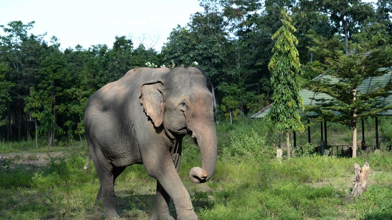 Au Vietnam, une poignée d'éléphants pour sauver l'espèce