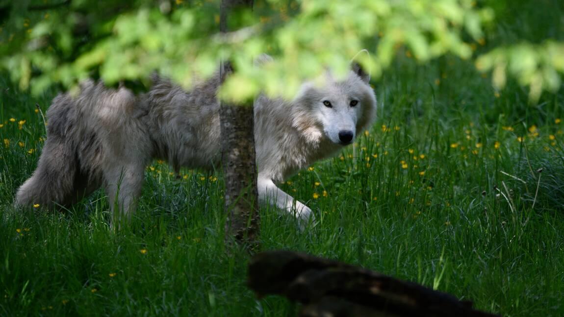 Les loups reviennent au Danemark 200 ans après avoir disparu