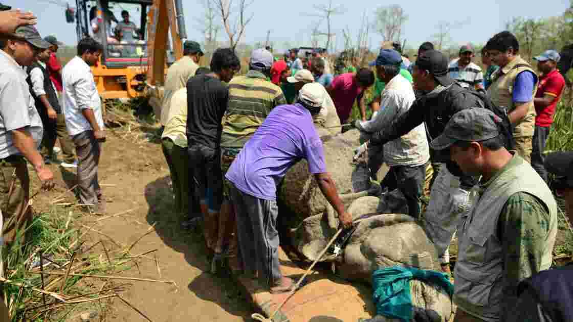 Délicat déménagement pour un rhinocéros du Népal