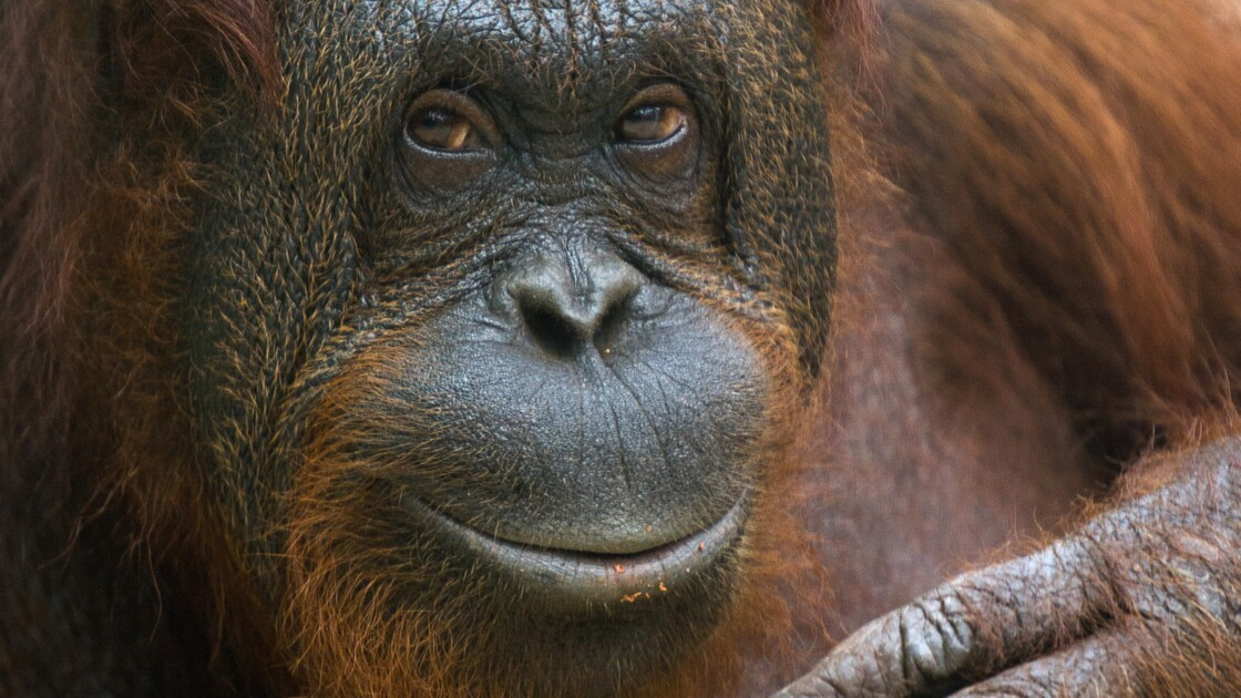 """Pays-Bas: un """"Tinder pour les orangs-outans"""" expérimenté dans un parc animalier"""