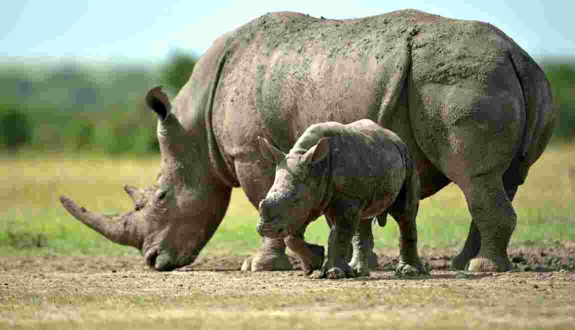 Espoir pour une espèce de rhinocéros en danger après l'insémination artificielle d'une femelle
