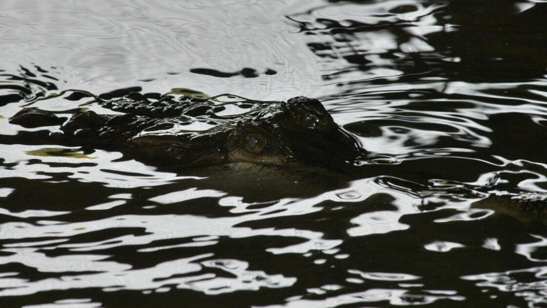 Indonésie : une foule en colère massacre près de 300 crocodiles