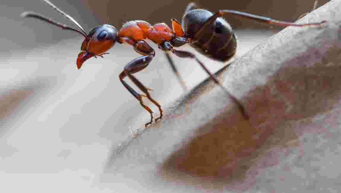 Les fourmis, une source future de médicaments ?