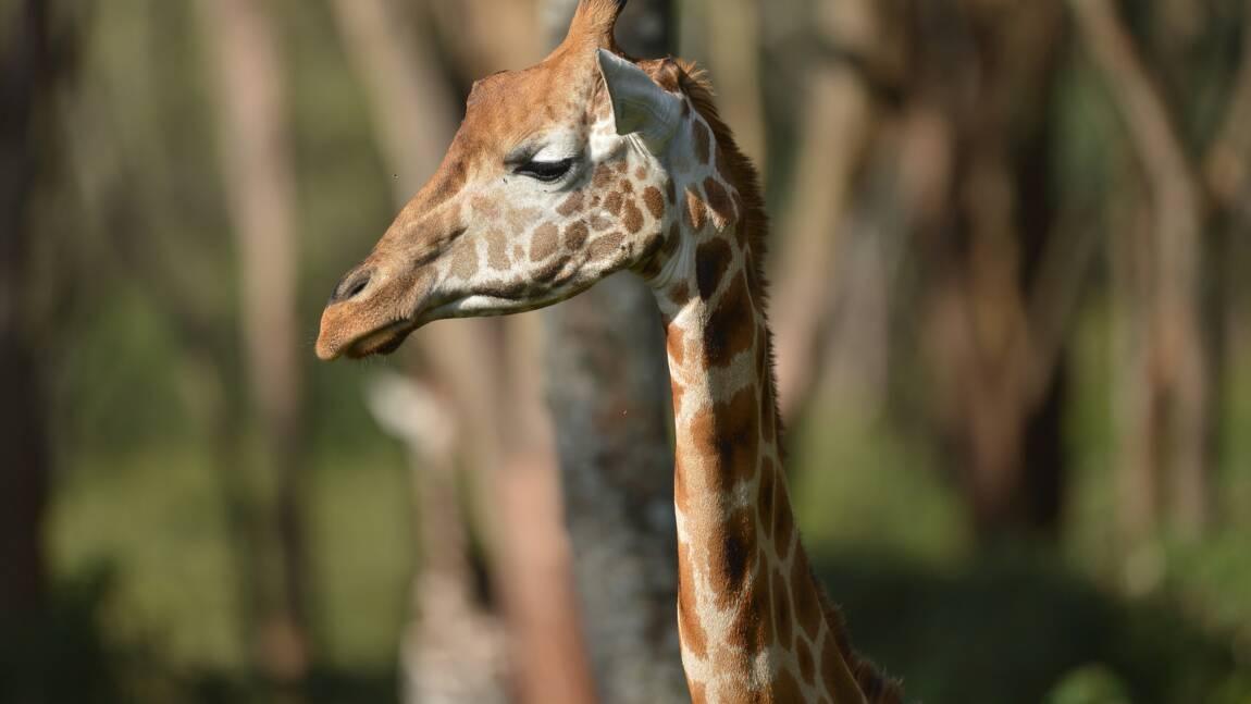 Tout ce qu'il faut savoir sur la girafe