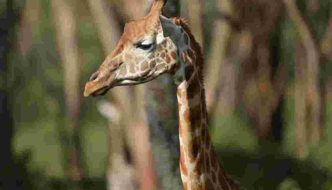 Pour mieux comprendre la Girafe