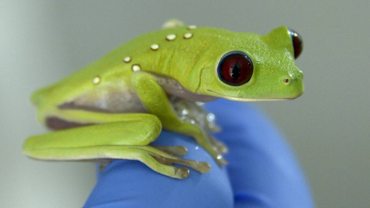 Equateur: élever et vendre des grenouilles pour lutter contre leur trafic