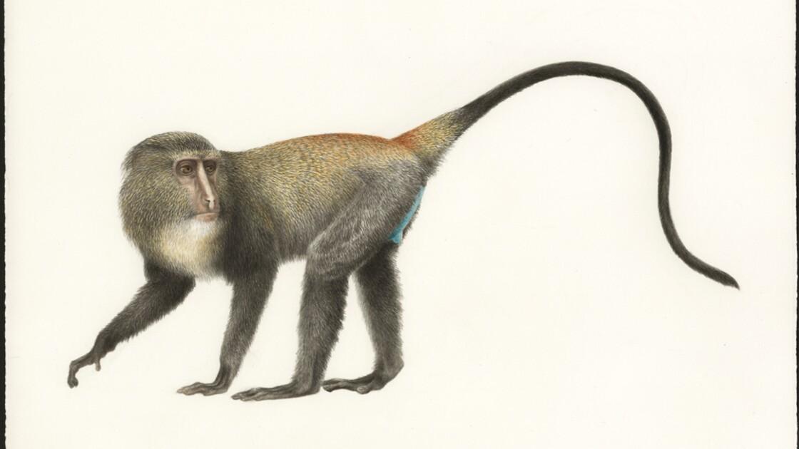 Les primatologues africains se mobilisent pour sauver les singes