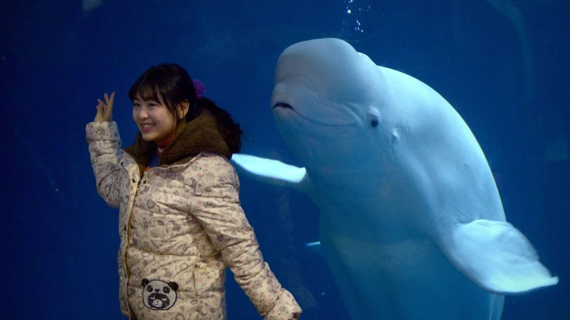 Islande : bientôt un refuge pour les baleines blanches, une espèce menacée