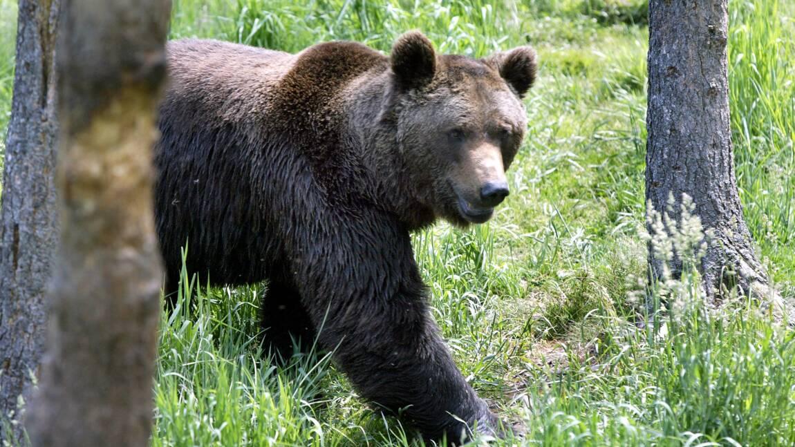 Pyrénées : une majorité favorable à la réintroduction de l'ours