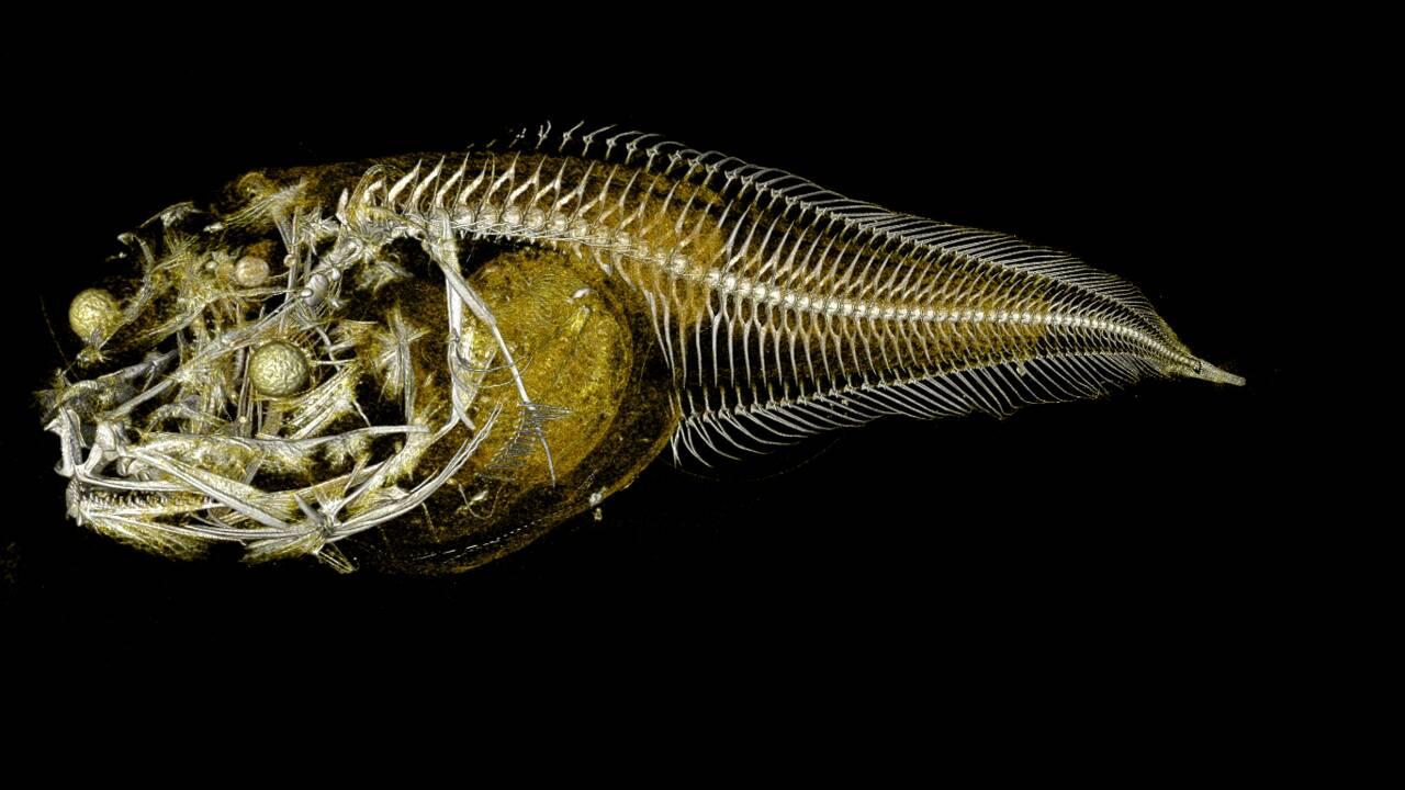 Sans arêtes ni écailles, trois nouvelles espèces de poisson identifiées dans les abysses