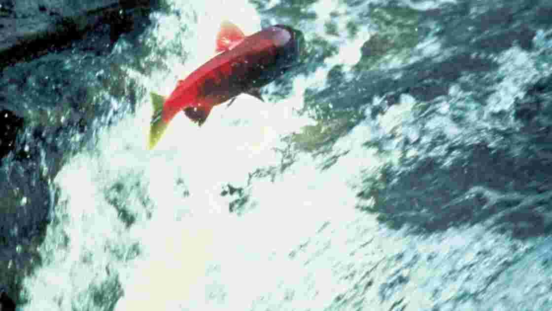 La rivière Allier réaménagée pour sauver notamment les saumons