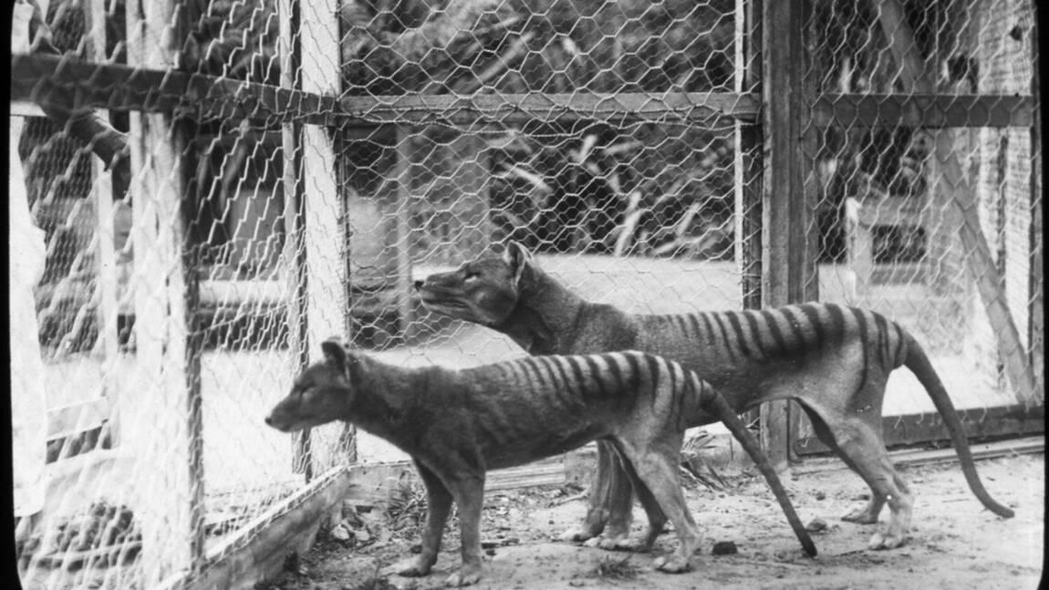 Dans la poche de sa mère, le tigre de Tasmanie se métamorphosait en chien