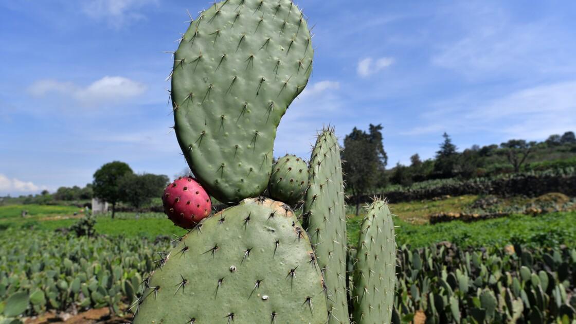Emblème du Mexique, le figuier de Barbarie est aussi source d'énergie