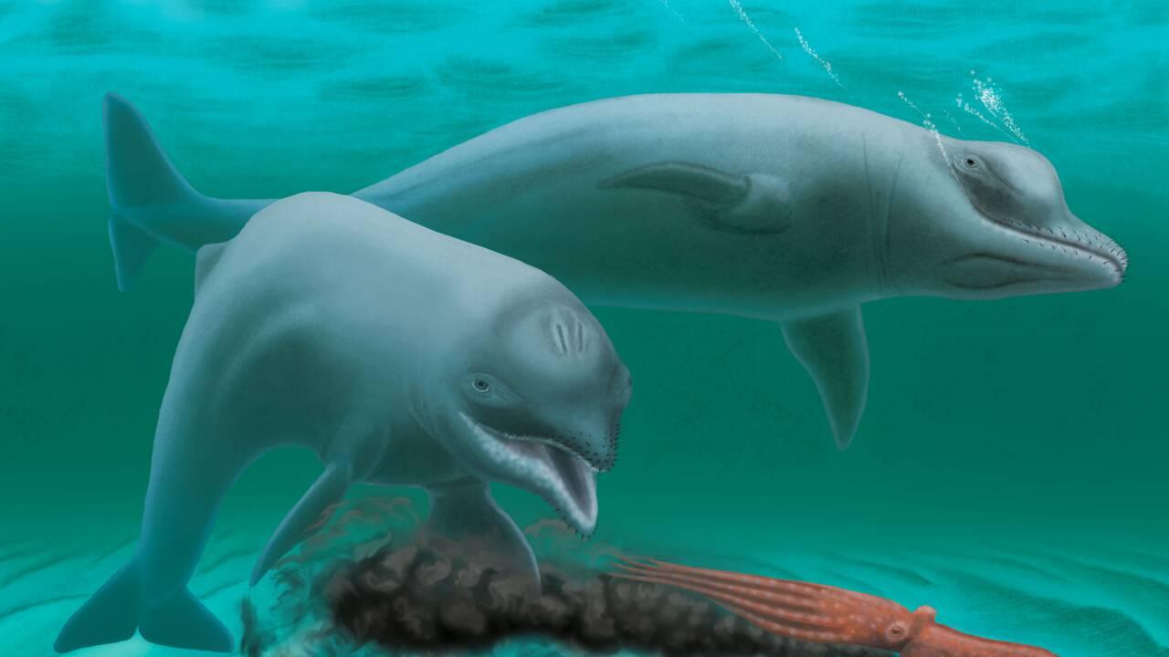 Découverte d'un ancien dauphin, minuscule et sans dents