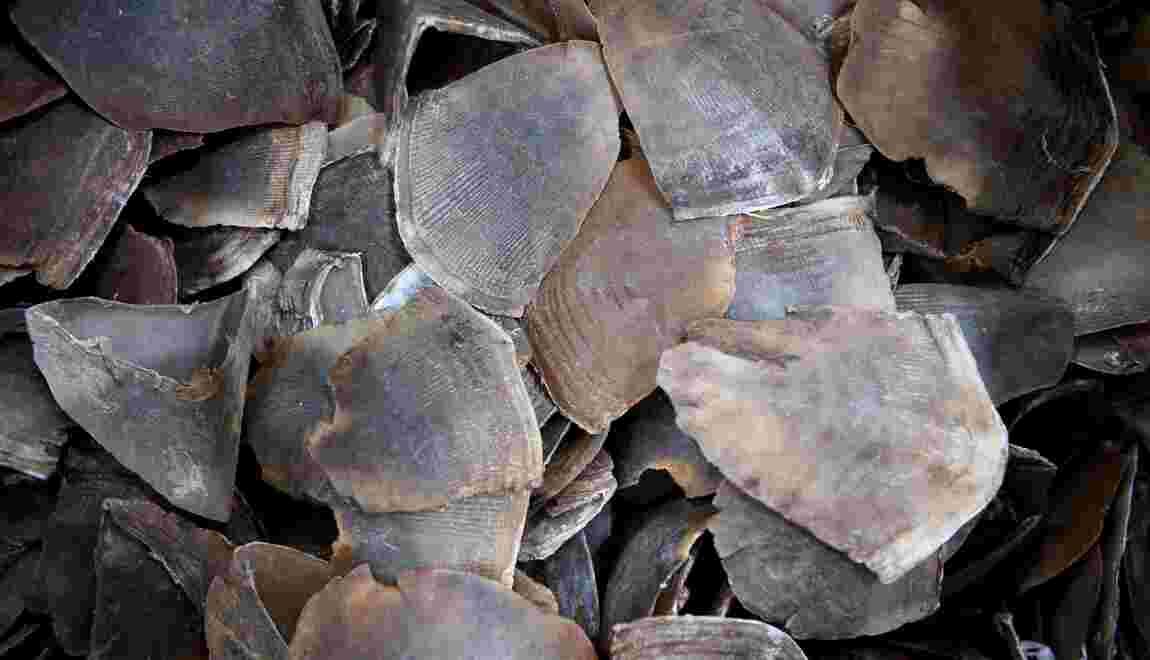 Nouvelle saisie d'écailles de pangolins en Malaisie