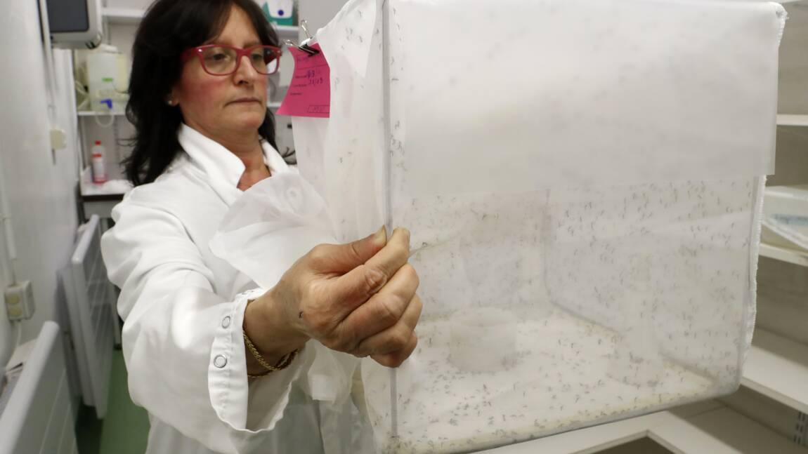 A l'Institut Pasteur, on plonge dans l'univers du moustique pour mieux le combattre