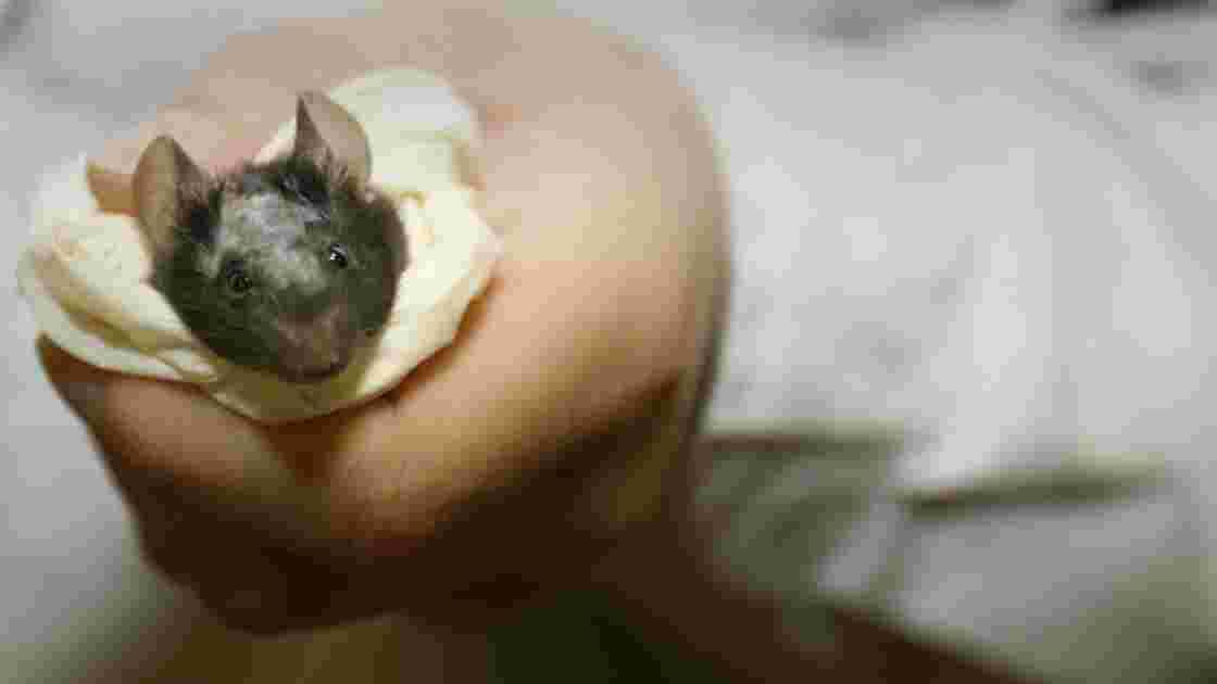 Comme les humains, souris et rats auraient du mal à renoncer